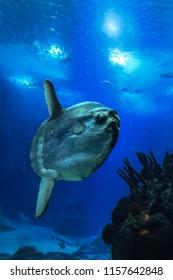 sunfish (moonfish) swimms in blue ocean water