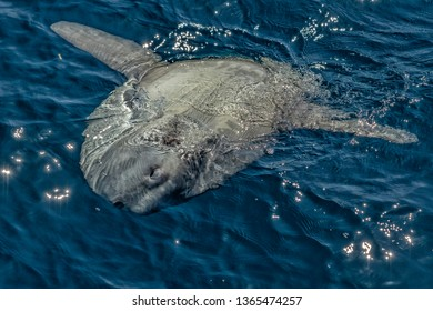 Sunfish on sea surface while eating jellyfish
