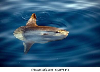 Sunfish underwater while eating jellyfish velella