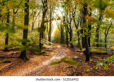 Sunflair on footpath in forest covered with fallen beech leaves in autumn season, netherlands