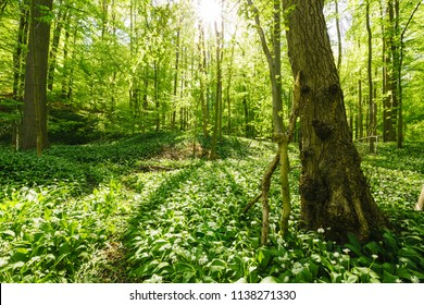 Sun-flooded forest with wild garlic