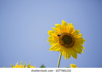 Sunflopwer on the blue sky background with the bee inside