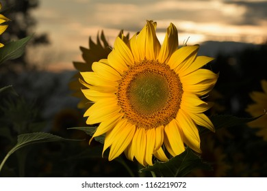 sunflower in the afternoon