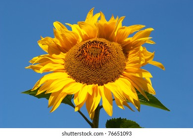 Sunflower against a background of blue sky