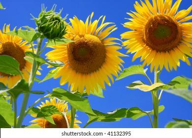 sunflower against deep blue sky