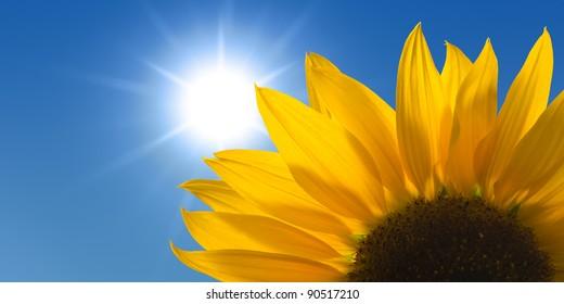 Sunflower against a sunny sky