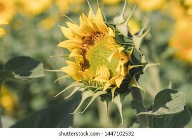 Sunflower agricultural landscape background. Close up of sunflowers field background. Sunflowers field in crop season. Sunflowers field landscape Background.