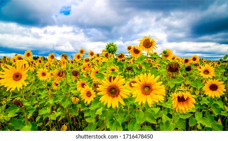 Sunflower agriculture field close up - Shutterstock ID 1716478450
