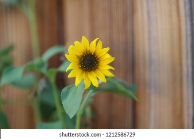 Sunflower along wooden fence.