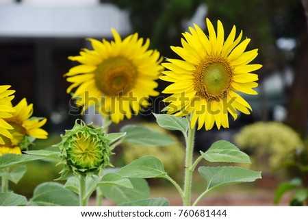 Sunflower Always Bright Tomorr...