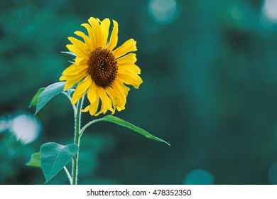 Sunflower is an annual plant thick and stiff stems. Leaves Single, hairy and usually sticky.