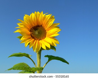 Sunflower background against blue sky