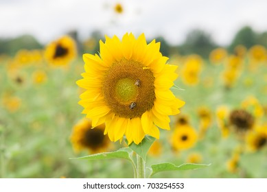 Sunflower with background of sunflower field