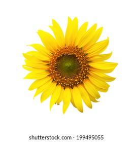 sunflower in  background white at thailand