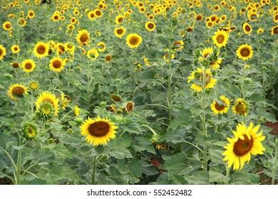 Sunflower beautiful landscape.
