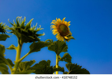 Sunflower so beautiful on blue background