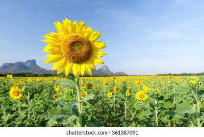 Sunflower with beautiful sky