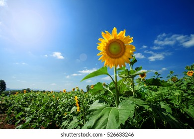 Sunflower beautiful sky background  in thailand,lens flaer effect