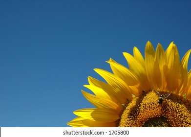Sunflower with a bee against blue sky