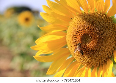 Sunflower and Bee in the field