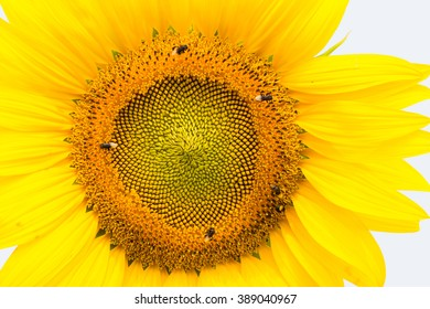 Sunflower and bee in the garden.