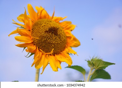 Sunflower and the bees are taking sweet nectar under cloudy blue sky background