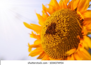 Sunflower and the bees are taking sweet nectar under cloudy  sky background,closeup photo