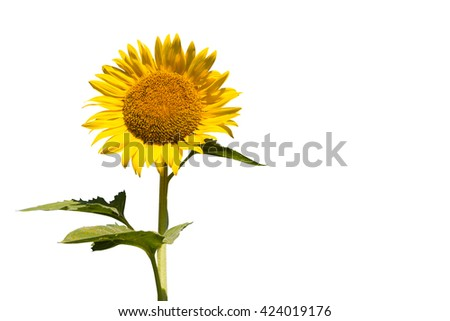 Sunflower big round yellow flowers isolatedonwhitebackground stock sunflower big round yellow flowers isolated on white background copy mightylinksfo