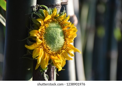 Sunflower bloom in bamboo forest