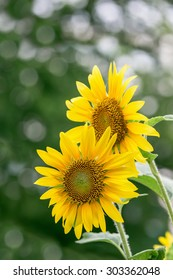 Sunflower bloom on blur bokeh background