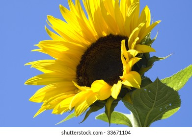 Sunflower blooming against a brilliant blue sky.