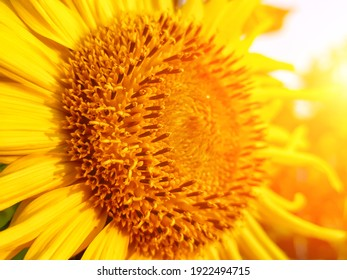 Sunflower blooming. Close-up of sunflower. sunflower flowers at the evening field. Sunflower natural background.