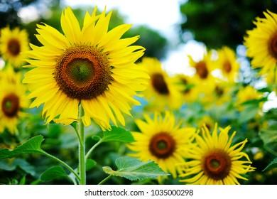 sunflower blooming in field landscape