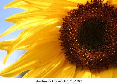 Sunflower blooming in the garden