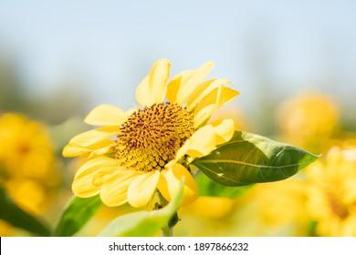 Sunflower blooming in the garden  on blur background