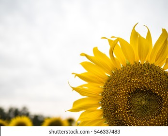 Sunflower blooming Garden sky background