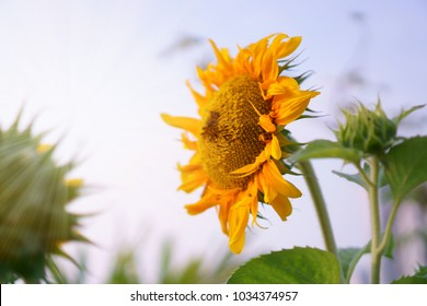 Sunflower are blooming on Sunny blue sky backround