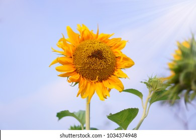 Sunflower are blooming under cloudy blue sky in sunny day