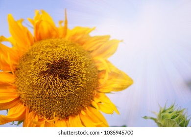 Sunflower blooming under sunny  sky background, closeup photo