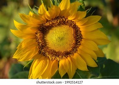 Sunflower blooms yellow in a garden - Shutterstock ID 1992514127