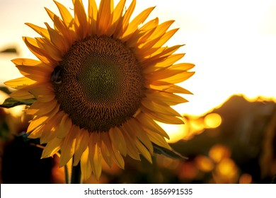 sunflower blossom in a big sunflower field against the light, backlit, in beautiful warm evening sunlight, copy space