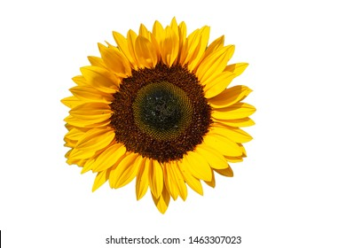 Sunflower blossom isolated on white textured background with copy space