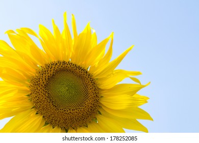 Sunflower blossoming in the blue sky .