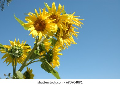 Sunflower blossoms against a Colorado blue sky.