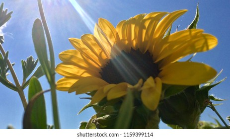 Sunflower and blue skies