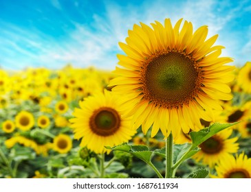 Sunflower with blue sky background - Shutterstock ID 1687611934