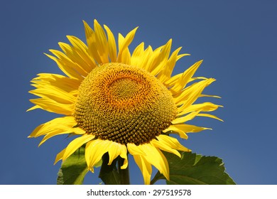 Sunflower with blue sky background.