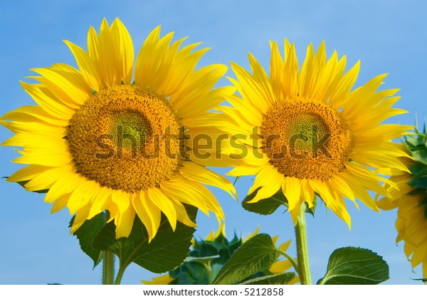 sunflower in blue sky background