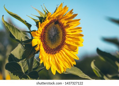 Sunflower in a blue sky contrast