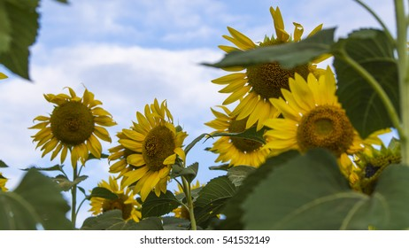 sunflower and bluesky